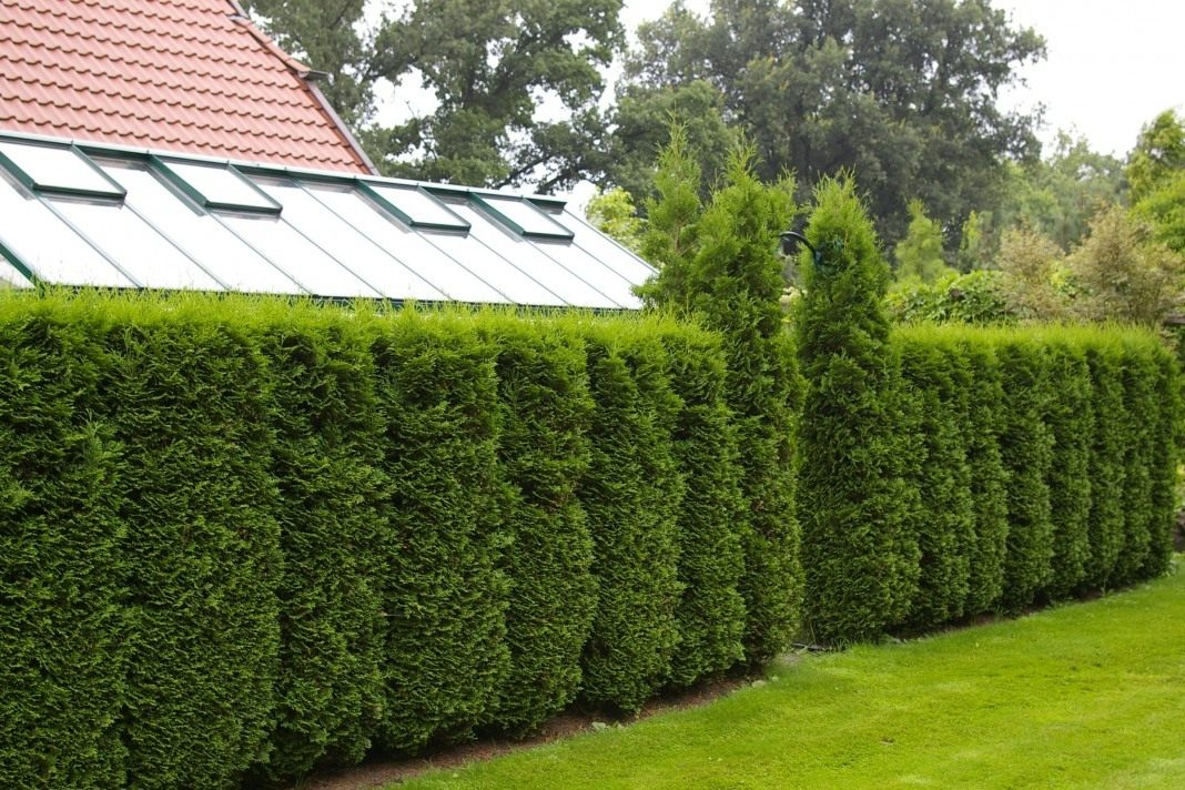 thuja-hedge-5